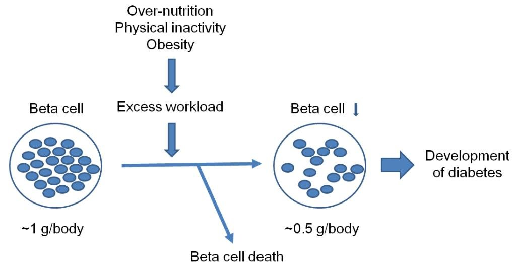 Diabetes Beta Cells