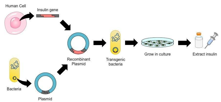 Recombinant Insulin Production In E. Coli