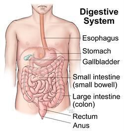 Liver And Pancreas In Digestion