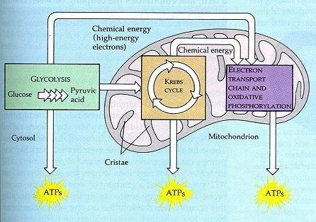 Cellular Respiration: