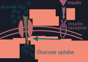 How To Insulin And Glucagon Work Together