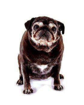 Diabetes In Older Dogs - An Owner's Guide