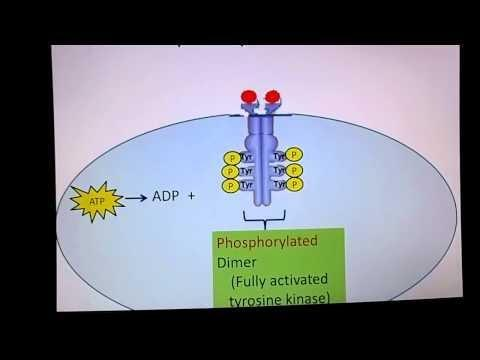 Insulin Receptor Definition Biology
