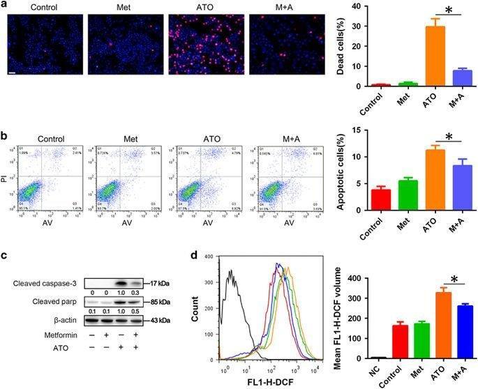 Metformin Ameliorates Arsenic Trioxide Hepatotoxicity Via Inhibiting Mitochondrial Complex I