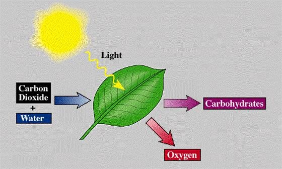 Carbon Dioxide And Water Can Combine To Form Glucose Water And Oxygen