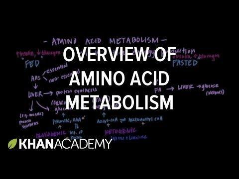 How Are Fatty Acids Converted To Glucose?