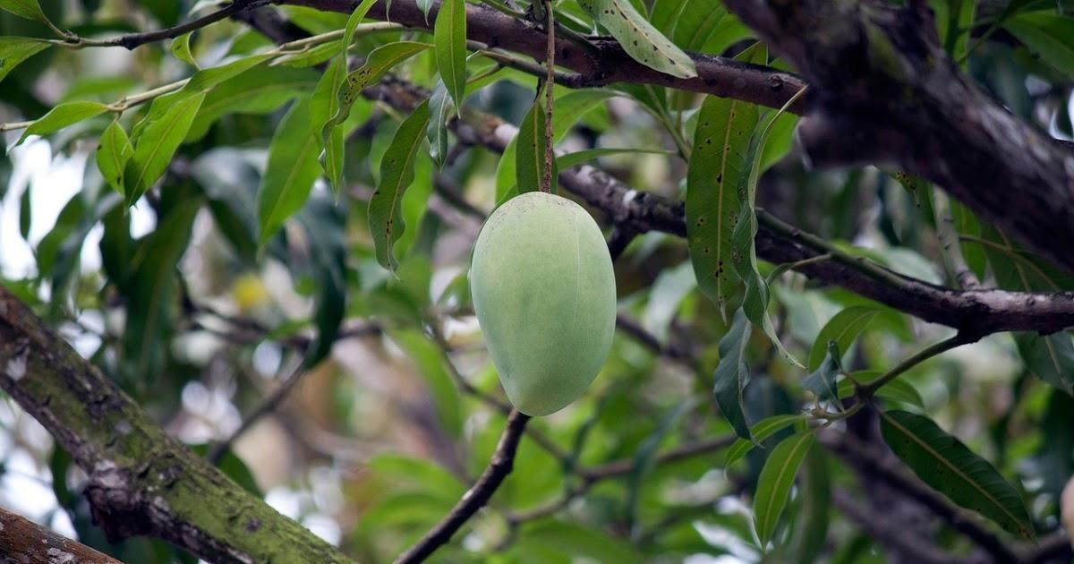 Mango Diabetes Cure