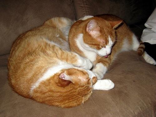 Feline Diabetes Or Living With A Diabetic Cat