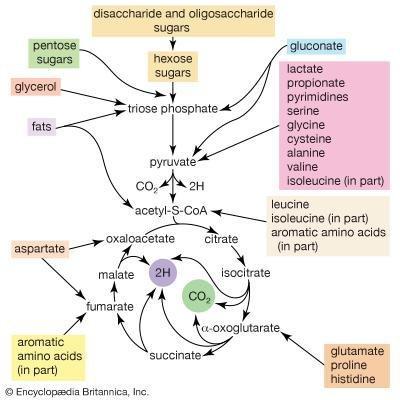 Disaccharide | Biochemistry | Britannica.com