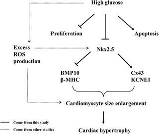 Investigating The Mechanism Of Hyperglycemia-induced Fetal Cardiac Hypertrophy