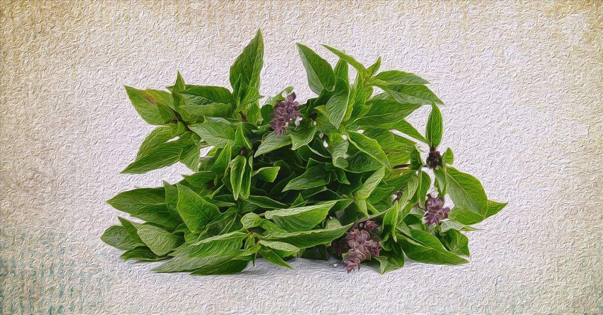 5 Side Effects Of Tulsi Or Holy Basil You Need To Know