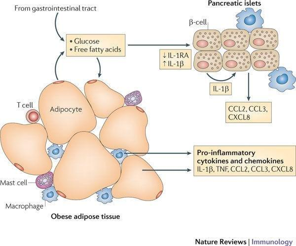 Inflammation And Diabetes