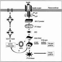 Insulin Signaling Pathway Review