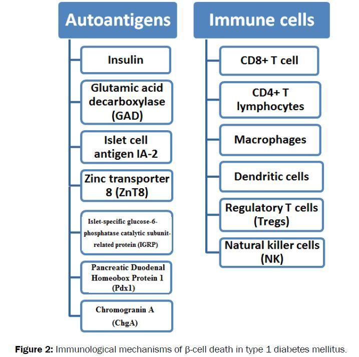 Type 1 Diabetes Autoimmune Mechanism