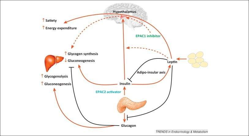 How Is Homeostasis Disrupted In Type 2 Diabetes