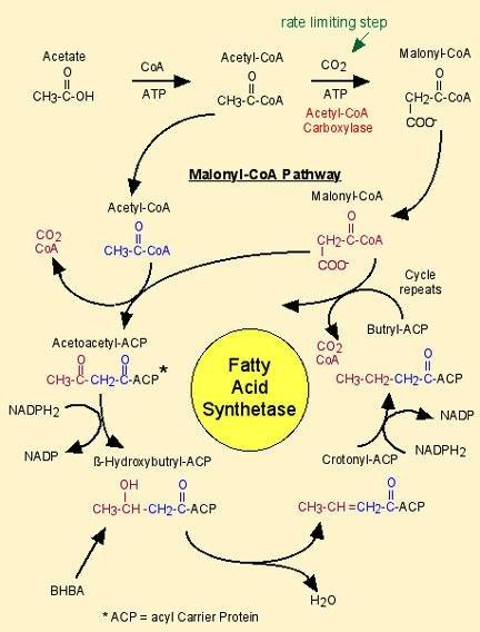Can Fatty Acids Be Converted To Glucose?