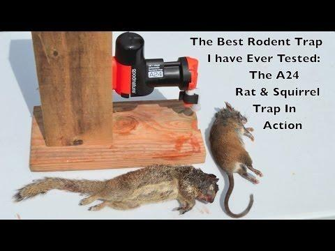 Will Insulin Kill A Rat
