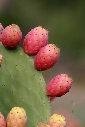 Cactus And Diabetes