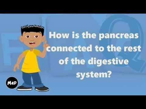 How Does The Pancreas Connected To The Rest Of The Digestive System Quizlet