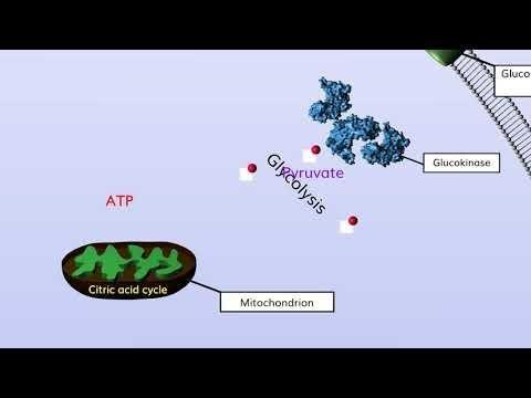 Sc17 L3 Beta Cell Biology And Insulin Secretion