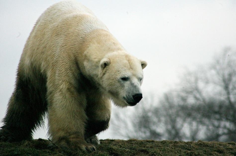 Hibernation – How Bears Can Go Without Food And Water For Months