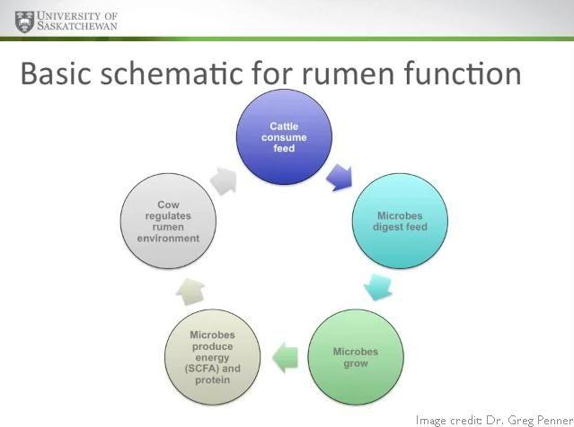 What Is Acidosis Of The Rumen?