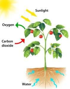 Where Is Glucose Made In Plants
