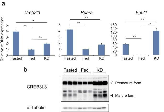 Creb3l3 Controls Fatty Acid Oxidation And Ketogenesis In Synergy With Pparα