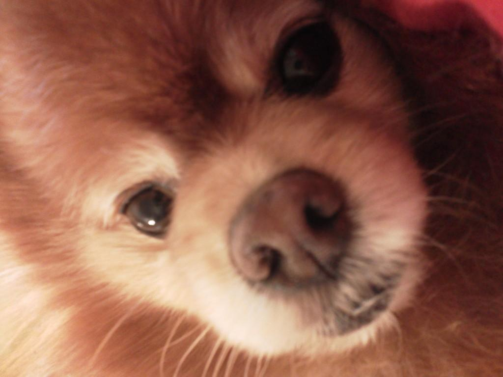 Pomeranians With Diabetes: Story Of A Little Champion – Chip