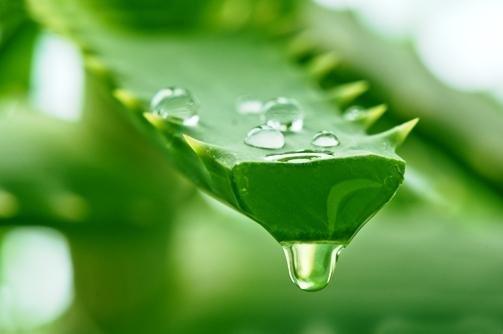 Utilizacin Del Aloe Vera En El Tratamiento De La Diabetes