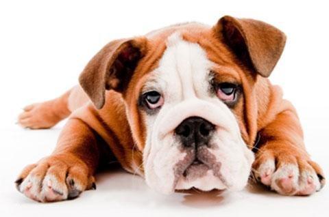 Sugar High: Petplan Pet Insurance On Diabetic Ketoacidosis In Pets
