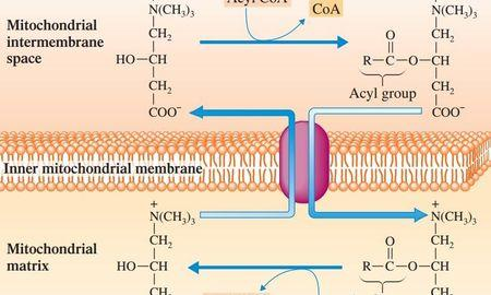Fatty Acids And Amino Acids Produce Far Less Atp Than One Glucose Molecule.