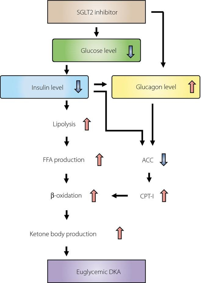 Starvation Ketoacidosis Mechanism