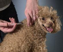 Dog Bites When Giving Insulin Shot