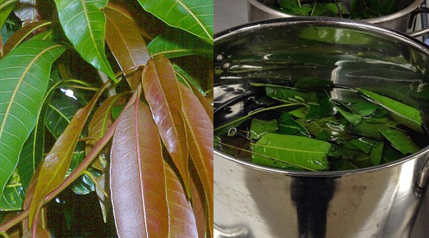 Boiled mango leaves can help you battle diabetes naturally! Must Learn!