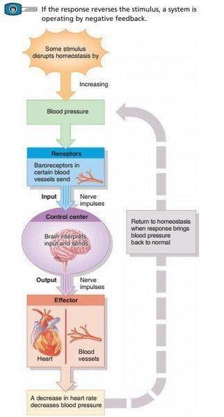 Blood Glucose Homeostasis Negative Feedback