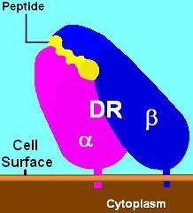 Hla-dr3 - Wikipedia