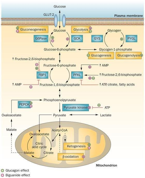 Mechanism Of Action Of Metformin In Type 2 Diabetes