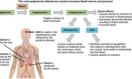 How Does The Endocrine System Regulate Blood Sugar Levels