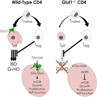 Glucose Uptake Assay Flow Cytometry