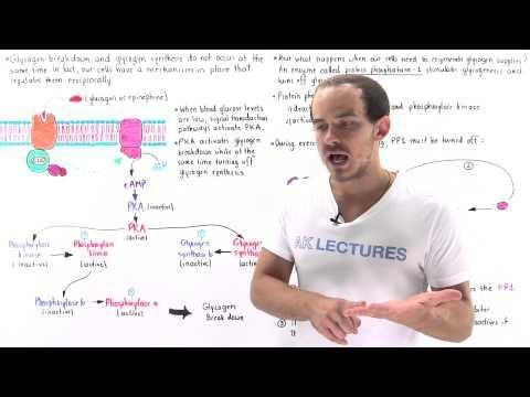 How Does Insulin Regulate Carbohydrate Metabolism?