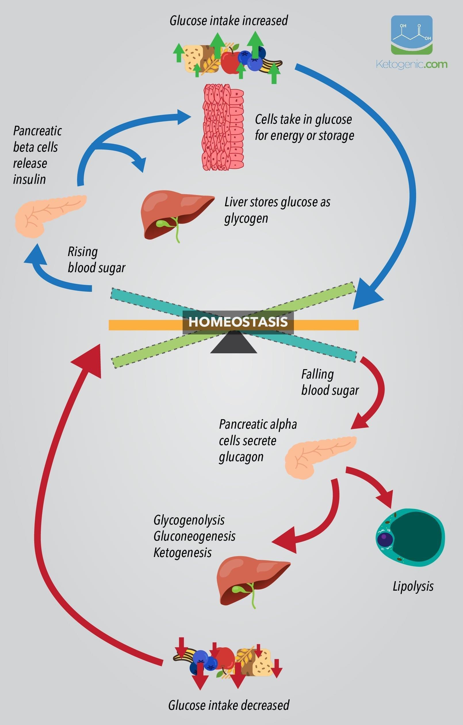 The Keto Adaptation Process
