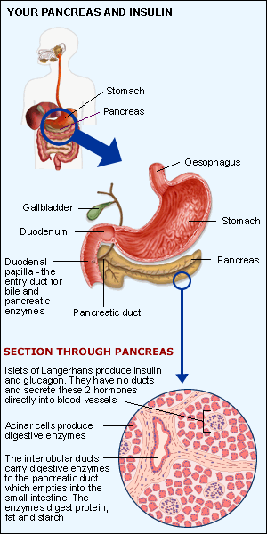 Pancreas And Insulin