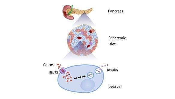 Beta Cells and Diabetes