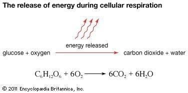 Cellular Respiration | Process & Products | Britannica.com