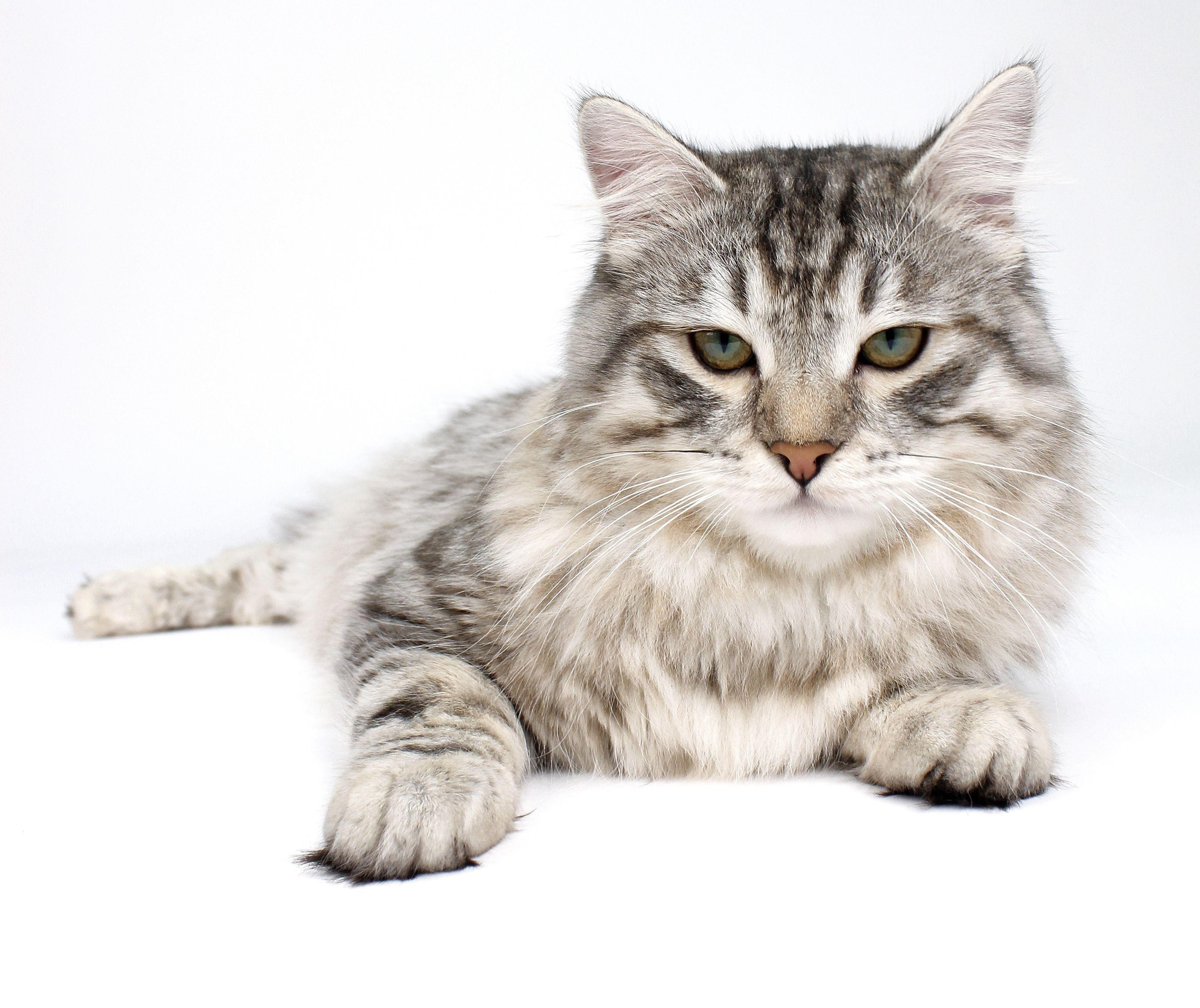 Feline Diabetes: Five Principles Breed Success