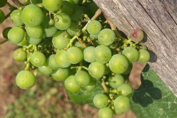 Can Diabetics Eat Dry Grapes?
