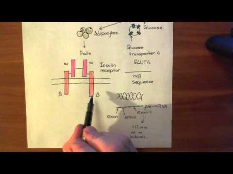What Is The Role Of The Insulin Receptor?