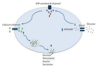 Are Insulin And Glucagon Proteins