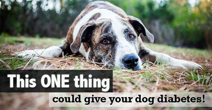Canine Diabetes: You Need To Know How To Prevent This!